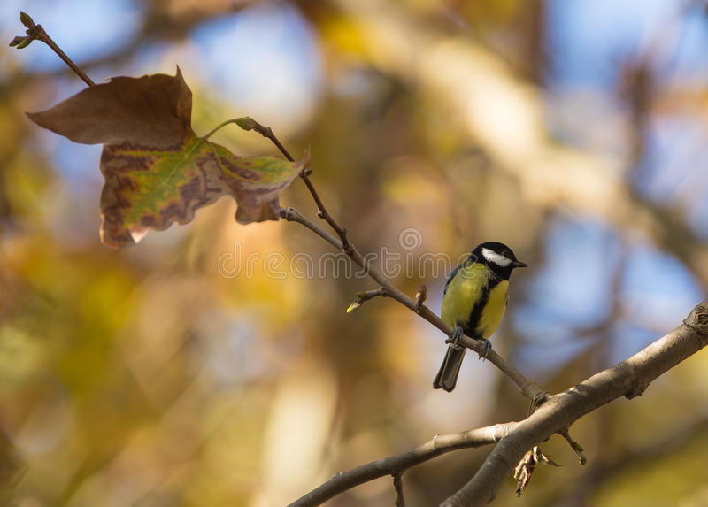 Download Great Tit stock image. Image of feathers, great, nature - 28156855