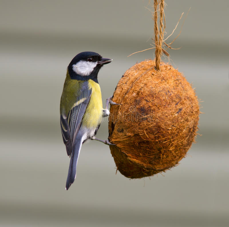 Download Great Tit Royalty Free Stock Photos - Image: 28412418