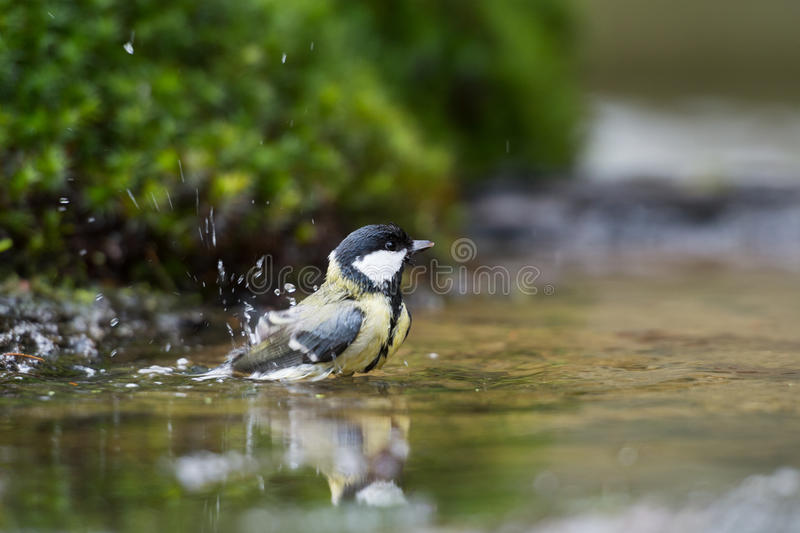 Download Great tit stock photo. Image of parus, outdoor, bathing - 29284120