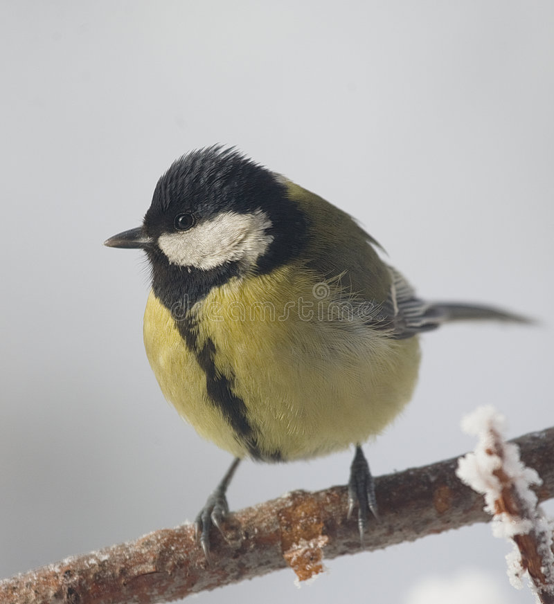 Free Great Tit Bird Royalty Free Stock Images - 8324549