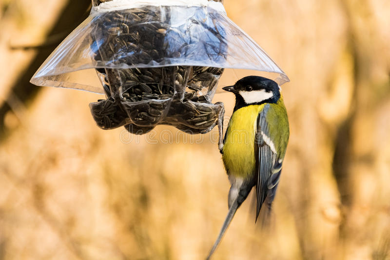 Great tit at a bird feeder. Great tit at a plastic bottle bird feeder stock image