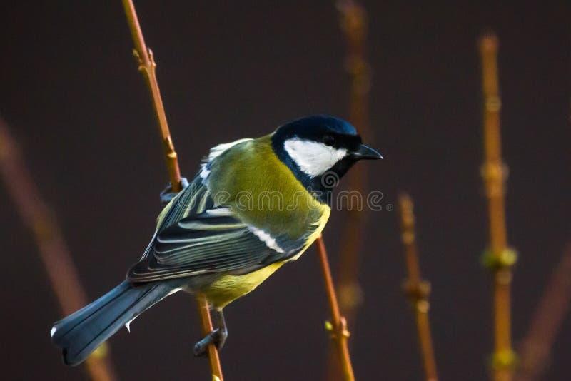 Great tit bird Parus major on branch of bush, near bird feeder. royalty free stock images