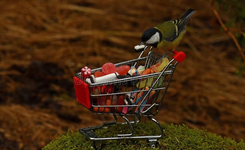 Great tit bird parus major, sitting on a shopping cart filled with candy stock image