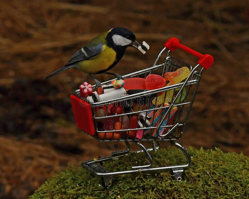 Great tit bird parus major, sitting on a shopping cart filled with candy royalty free stock image