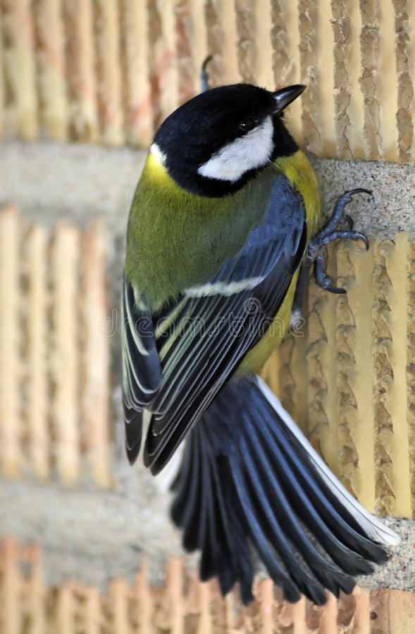 Great Tit Bird On The Wall Royalty Free Stock Image