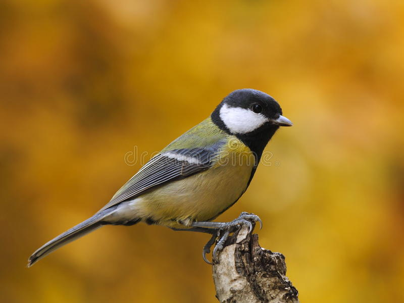 Great tit  with colorful background