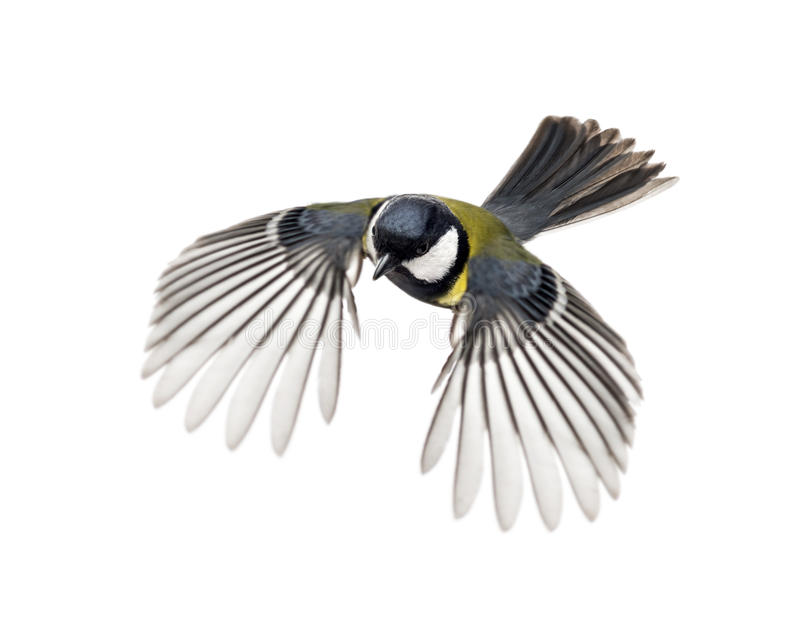 Great tit flying stock image