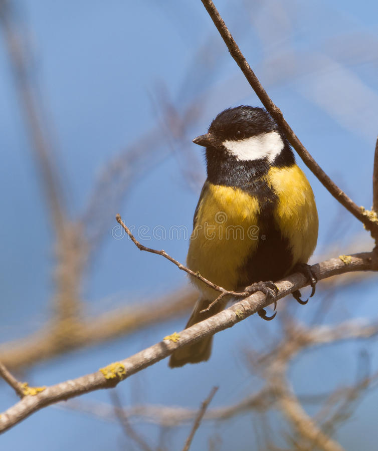 Free Great Tit In Springtime Royalty Free Stock Images - 18791049