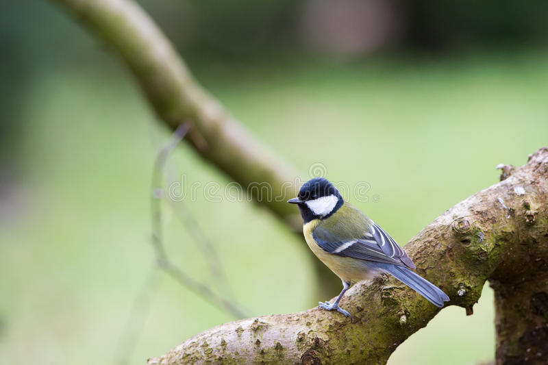 Great tit in nature. Forest royalty free stock photography