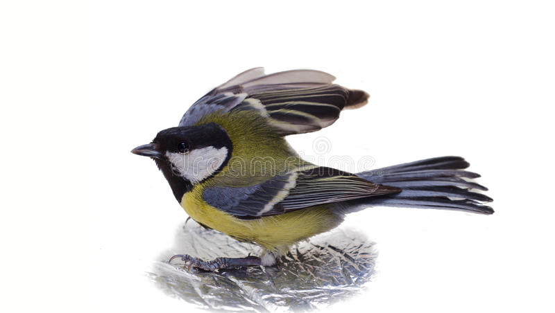 Download Great Tit, Parus Major stock image. Image of parus, young - 18622969