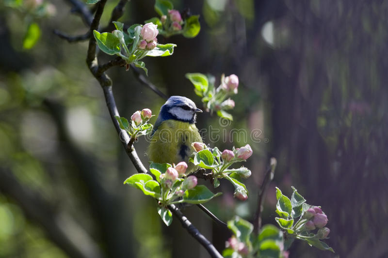 Download Great Tit (Parus Major) Royalty Free Stock Photos - Image: 24505018