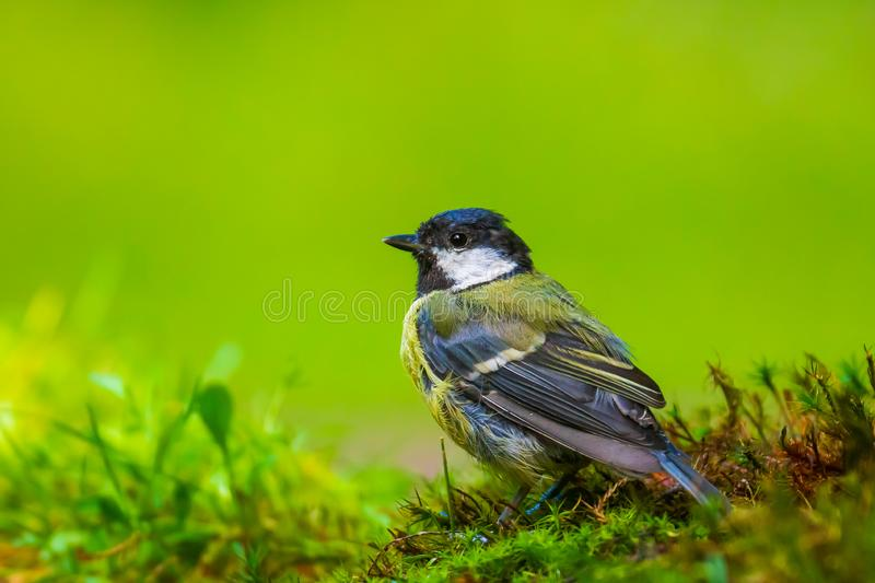 Great tit Parus major bird posing in a meadow. Closeup portrait of a Great tit bird, Parus Major, perched in a meadow, bright sunlight royalty free stock photos