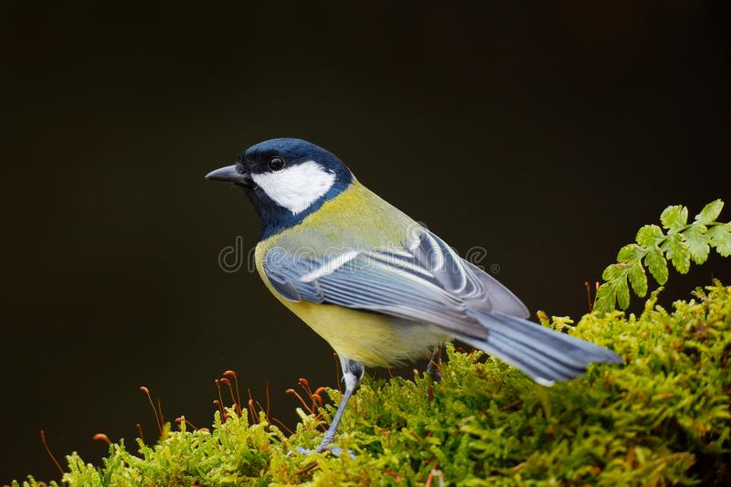 Great Tit, Parus major, black and yellow songbird sitting on the lichen tree branch, little bird in nature forest habitat, clear g stock photo
