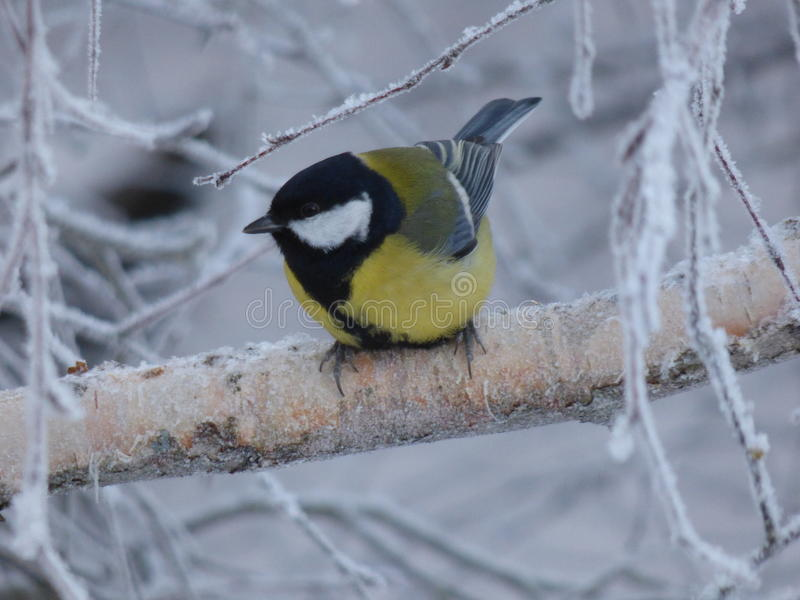 Great tit, parus major royalty free stock images