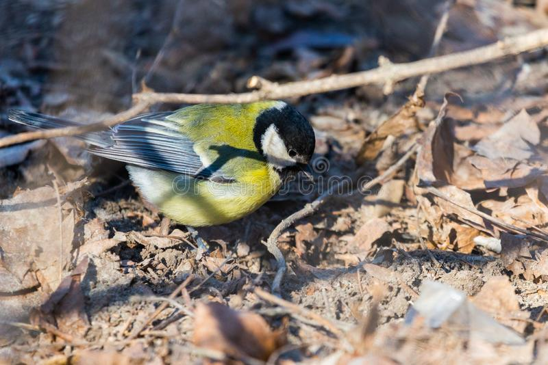 A great tit or Parus major on a ground stock photos