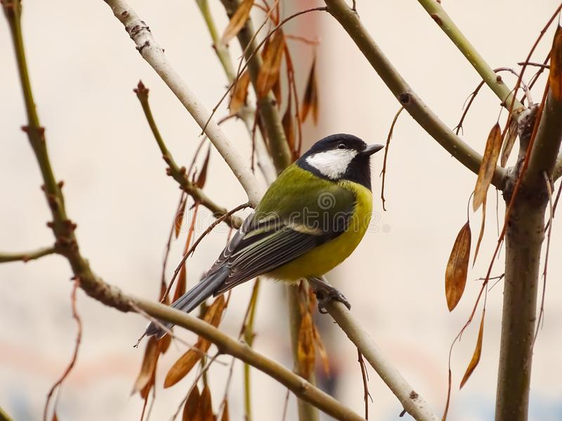 Great tit Parus major, single bird perching on a branch in a warm December day. Beautiful small bird, waiting for a winter. stock image