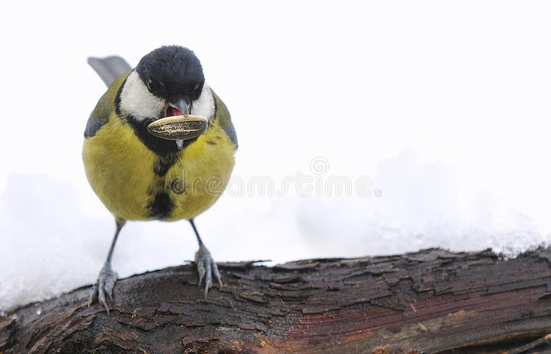 Download Parus major in the snow. stock image. Image of perching - 29820517