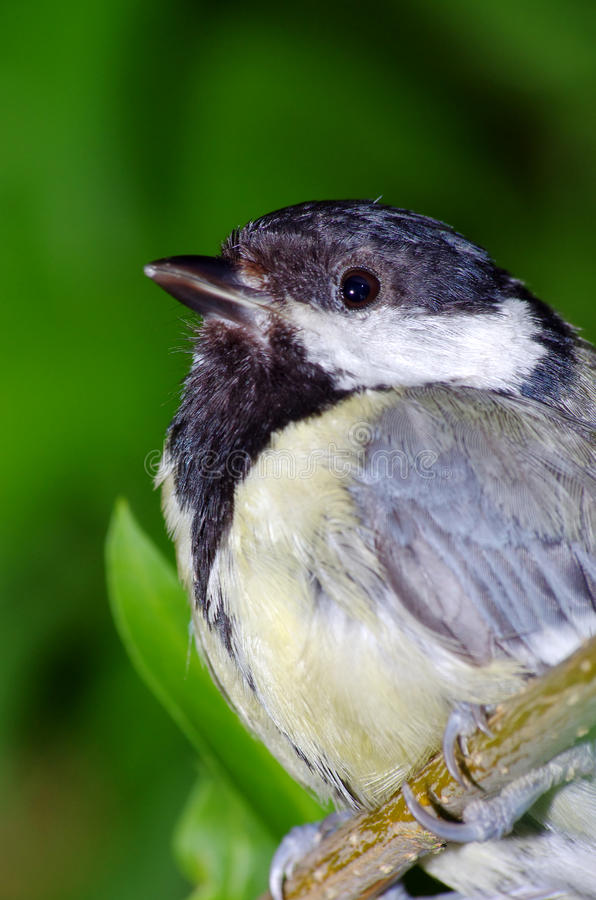 Download Great tit (parus major) stock photo. Image of colors - 33435918