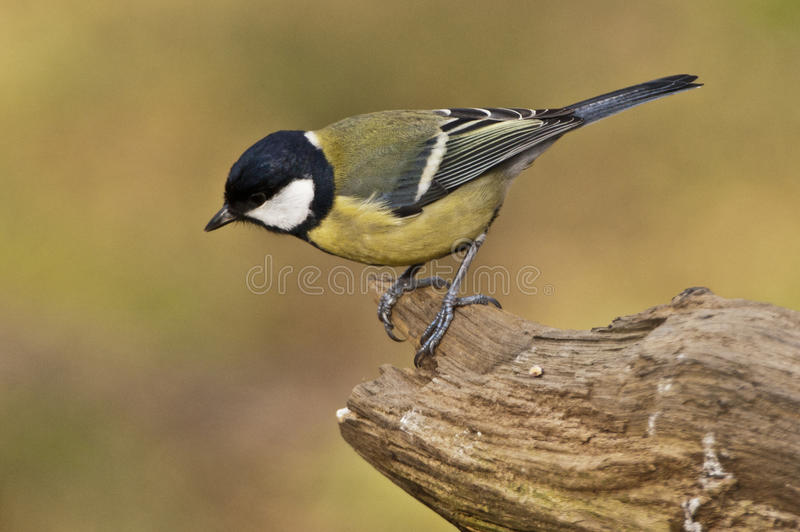 Great Tit. Posing on a perch royalty free stock images