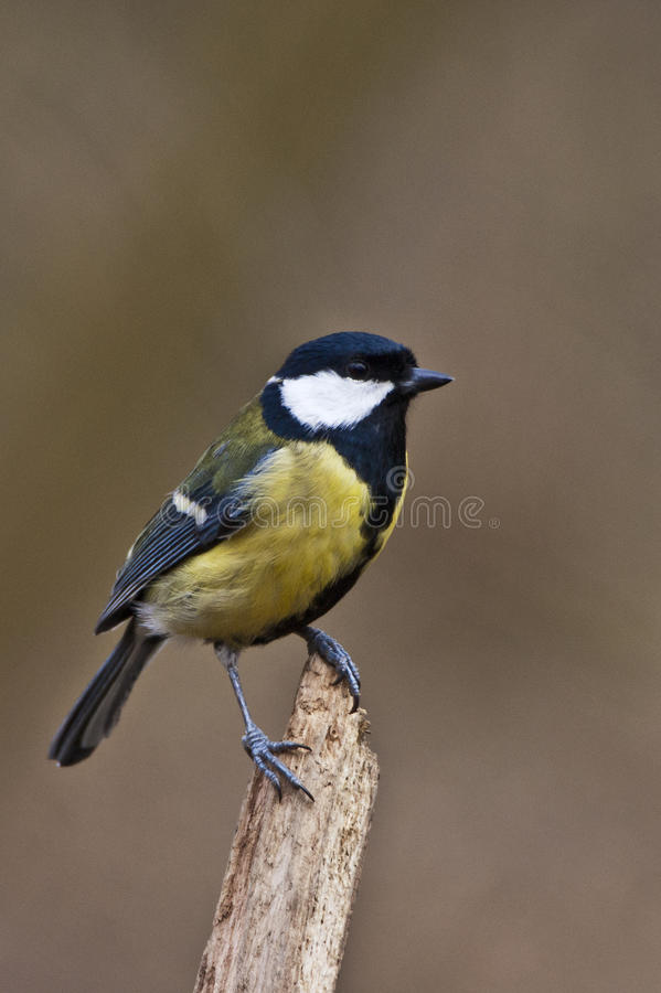 Great Tit. Posing on a perch royalty free stock image