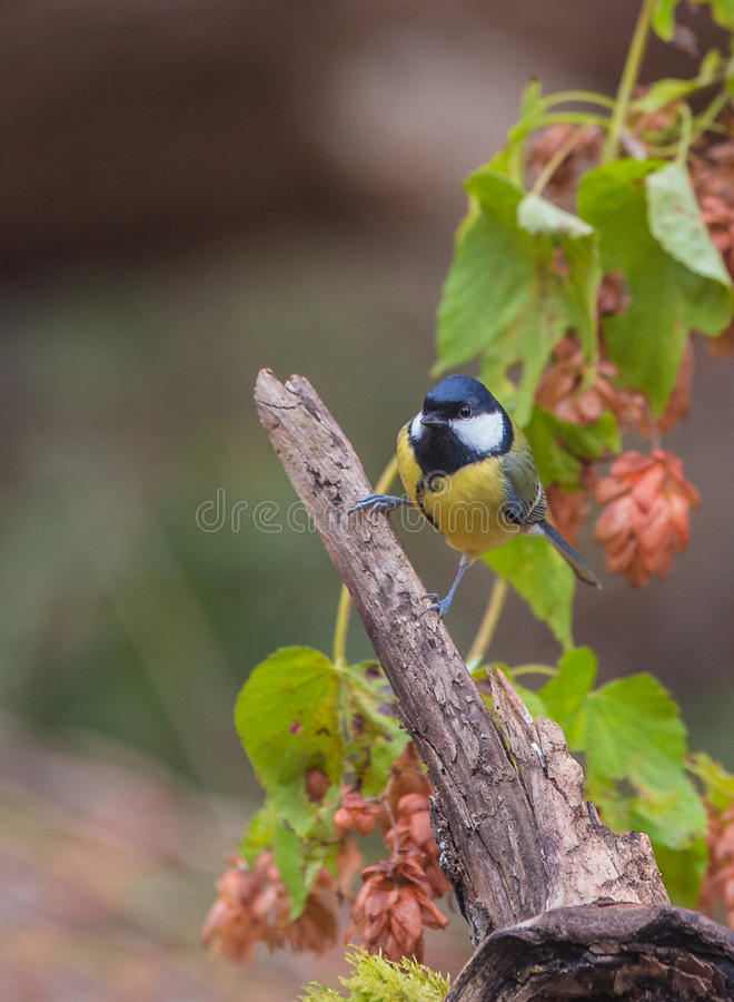 Great Tit with purple flowers stock photo