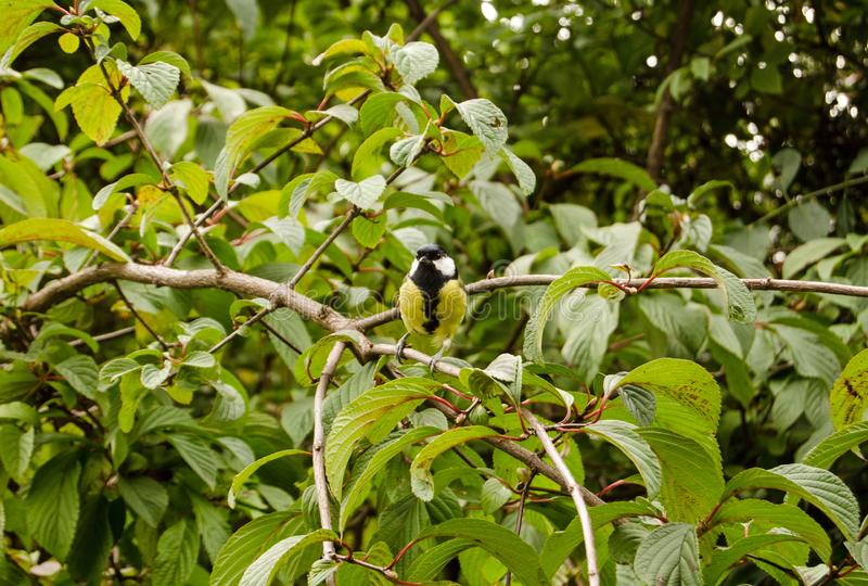 Great Tit in shrub. A friendly Great Tit, latin name Parus major, posing for a photograph in a shrub stock photography