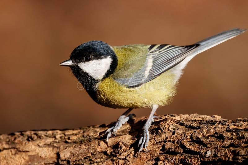 Great tit portrait royalty free stock images