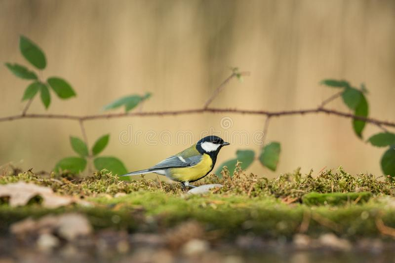 Great tit sitting on lichen shore of pond water in forest with bokeh background and saturated colors, Germany, songbird in nature. Forest lake habitat, cute royalty free stock photo