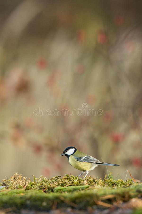 Great tit sitting on lichen shore of pond water in forest with bokeh background and saturated colors, Hungary, songbird in nature. Forest lake habitat, cute stock images