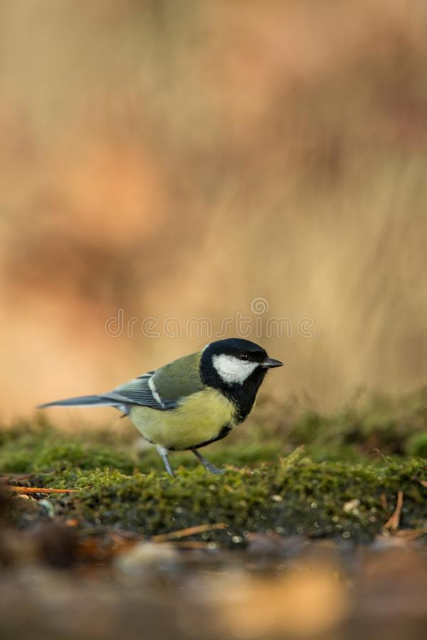 Great tit sitting on lichen shore of pond water in forest with bokeh background and saturated colors, Hungary, songbird in nature. Forest lake habitat, cute stock photo