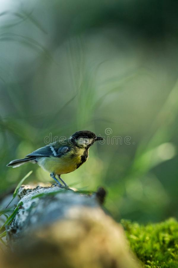 Great tit sitting on wood trunk in forest with bokeh background and saturated colors, Hungary, songbird in nature forest lake habi. Tat, cute small colorful bird stock image