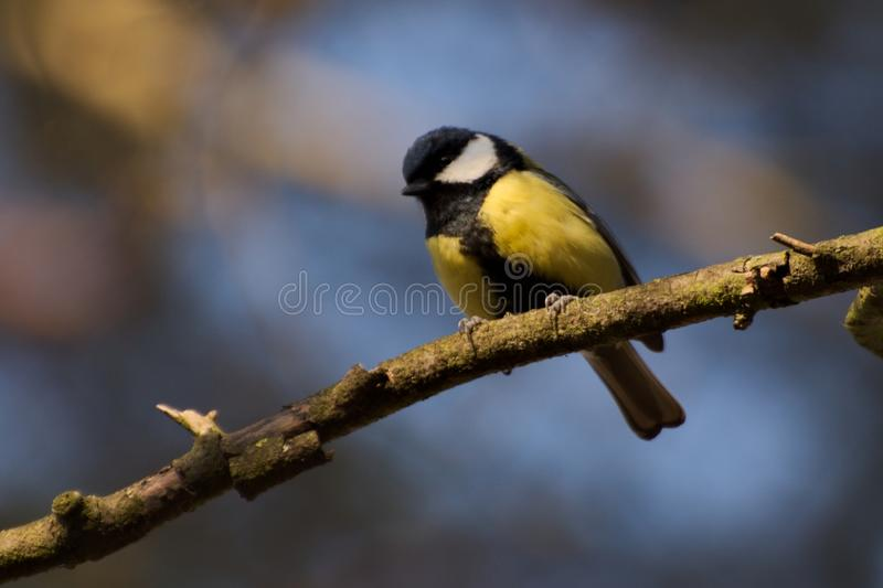 Great tit titmouse, Great tit, Parus major royalty free stock image