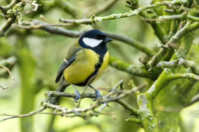 Great Tit Parus major on twig looking right royalty free stock photo
