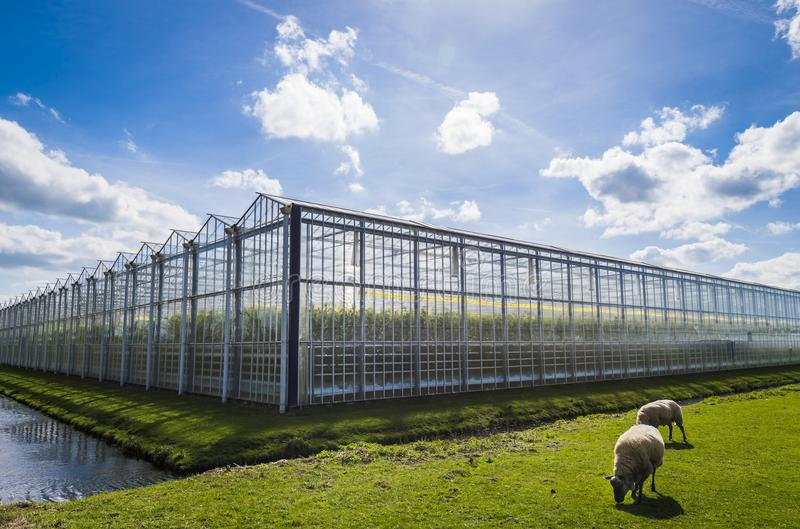 Great Tomato Greenhouse Harmelen. Great tomato nursery and greenhouse in Harmelen with sheep and summer sky royalty free stock photography