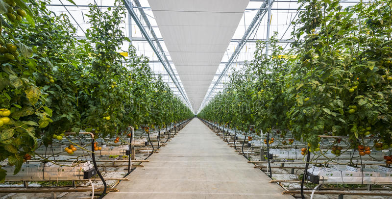 Great Tomato Nursery. Harmelen, The Netherlands - April 3, 2017: Tomato nursery with red and green tomatoes in a glass greenhouse royalty free stock images