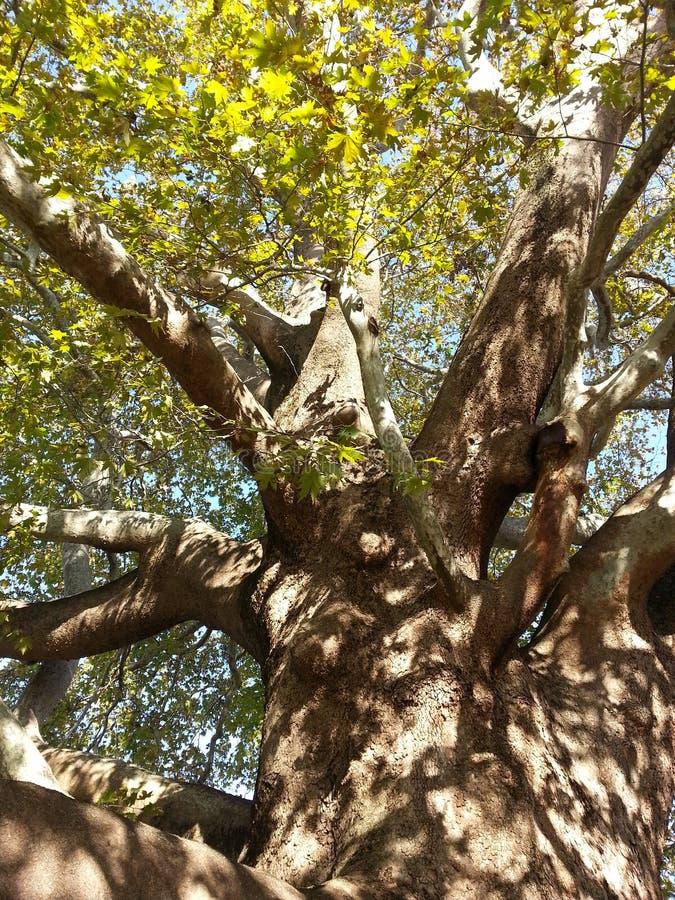 Great tree stock photography