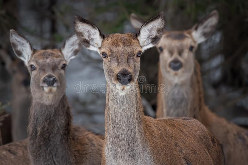 Great Trio: Three Curious Females Of The Red Deer Cervidae, Cervus Elaphus Are Looking Directly At You, Selective Focus On The. Central Animal . Christmas Story royalty free stock image