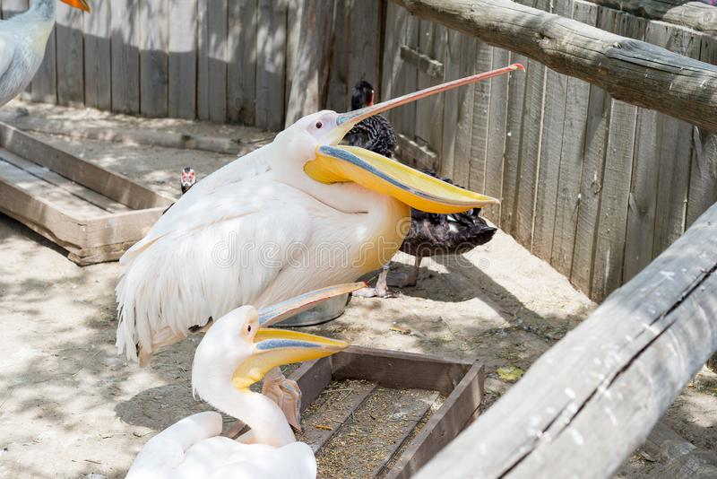 Great white or eastern white pelican, rosy pelican or white pelican is a bird in the pelican family.It breeds from southeastern Eu. Rope through Asia and in royalty free stock photo