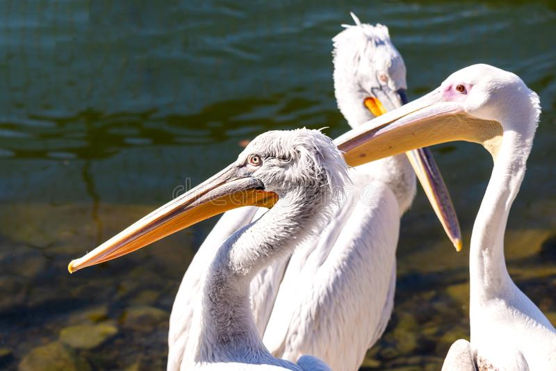 Great white or eastern white pelican, rosy pelican or white pelican is a bird in the pelican family.It breeds from southeastern. Europe through Asia and in stock image