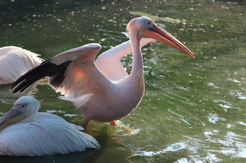 Great white or eastern white pelican. Rosy pelican or white pelican is a bird in the pelican family.It breeds from southeastern Europe through Asia and in royalty free stock photography