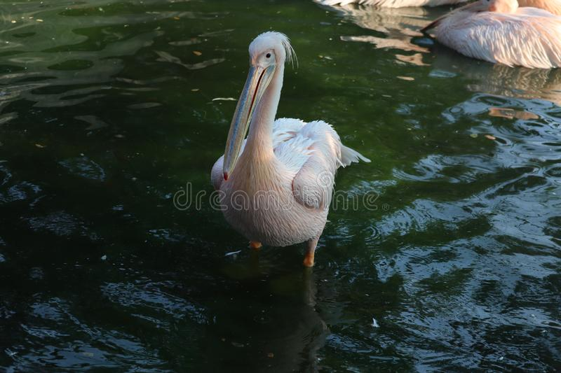 Great white or eastern white pelican, rosy pelican or white pelican is a bird in the pelican family.It breeds from southeastern. Europe through Asia and in stock photography