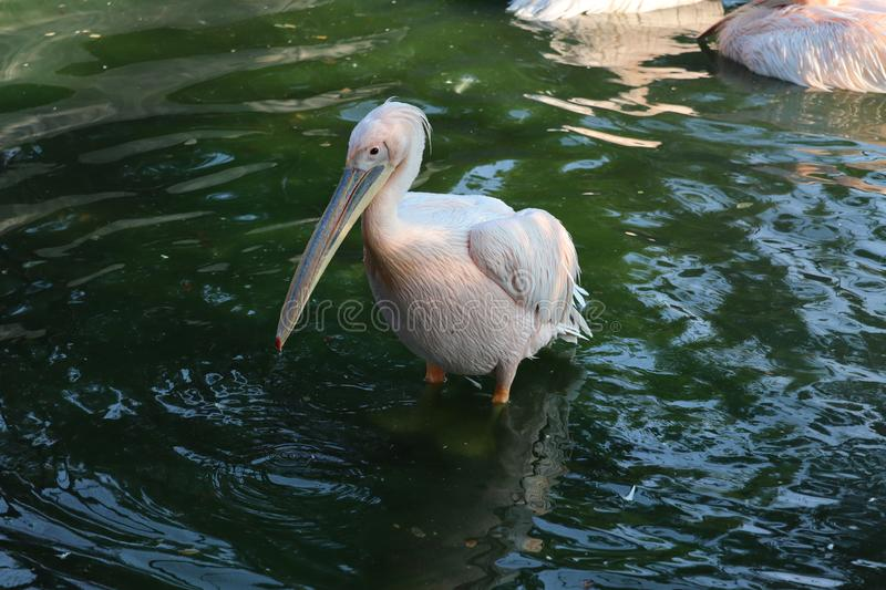 Great white or eastern white pelican, rosy pelican or white pelican is a bird in the pelican family.It breeds from southeastern. Europe through Asia and in royalty free stock images