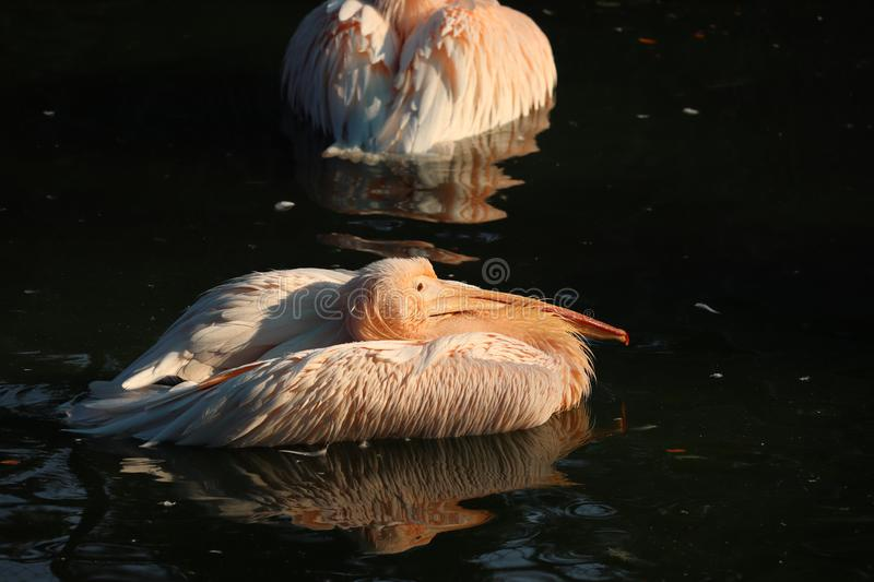 Great white or eastern white pelican, rosy pelican or white pelican is a bird in the pelican family.It breeds from southeastern. Europe through Asia and in royalty free stock photography