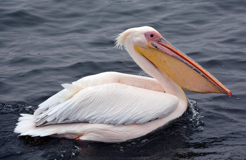 Great white. Or eastern white pelican, rosy pelican or white pelican is a bird in the pelican family.It breeds from southeastern Europe through Asia and in stock photos