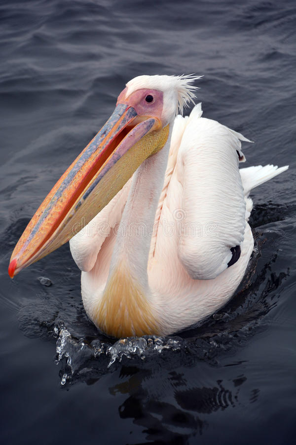 Great white. Or eastern white pelican, rosy pelican or white pelican is a bird in the pelican family.It breeds from southeastern Europe through Asia and in stock images