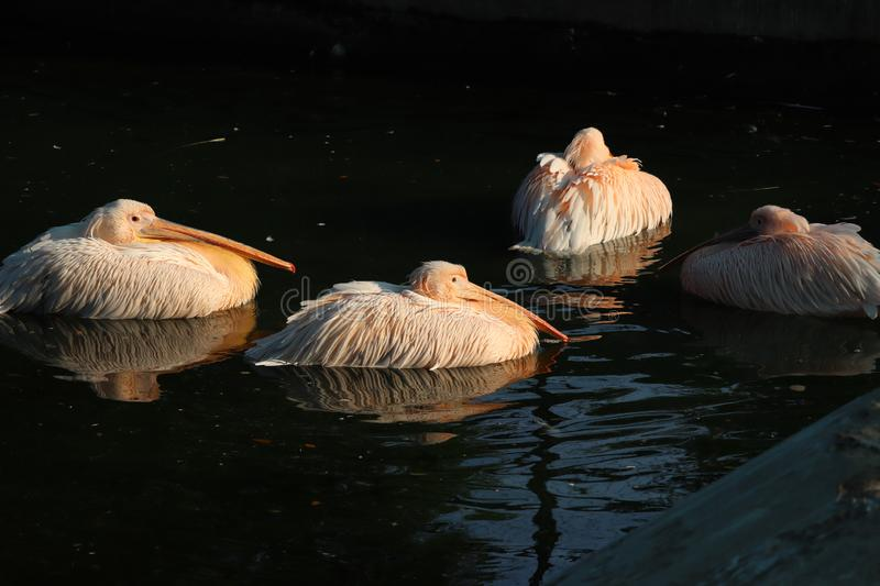 Great white or eastern white pelican. Rosy pelican or white pelican is a bird in the pelican family.It breeds from southeastern Europe through Asia and in royalty free stock photo