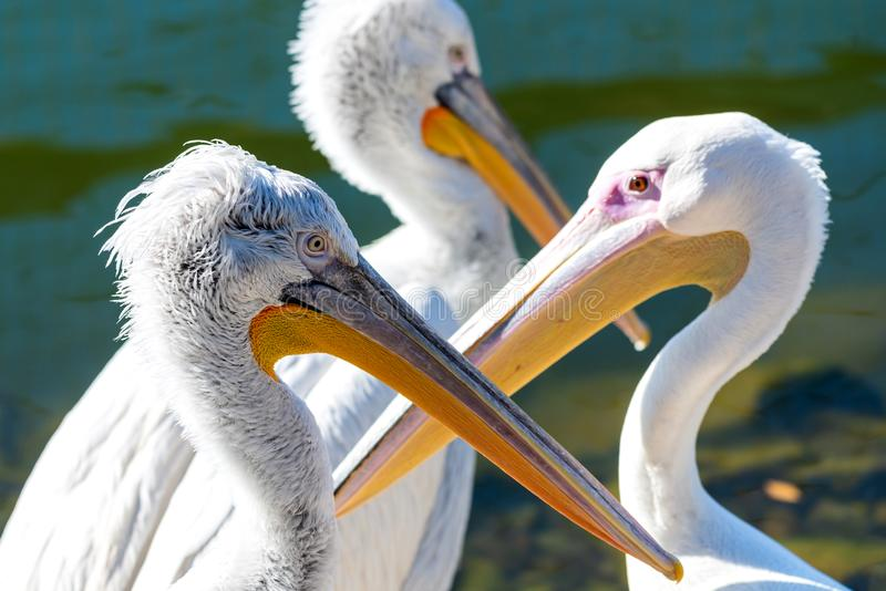 Great white or eastern white pelican, rosy pelican or white pelican is a bird in the pelican family.It breeds from southeastern. Europe through Asia and in royalty free stock photo