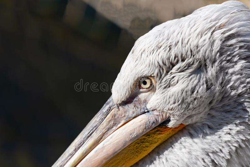 Great white or eastern white pelican, rosy pelican or white pelican is a bird in the pelican family.It breeds from southeastern. Europe through Asia and in stock photos