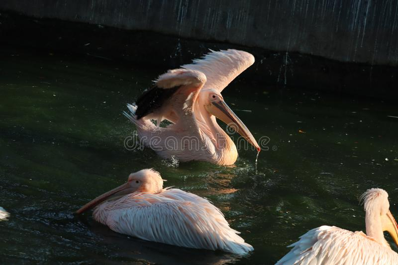 Great white or eastern white pelican, rosy pelican or white pelican is a bird in the pelican family.It breeds from southeastern. Europe through Asia and in royalty free stock photos