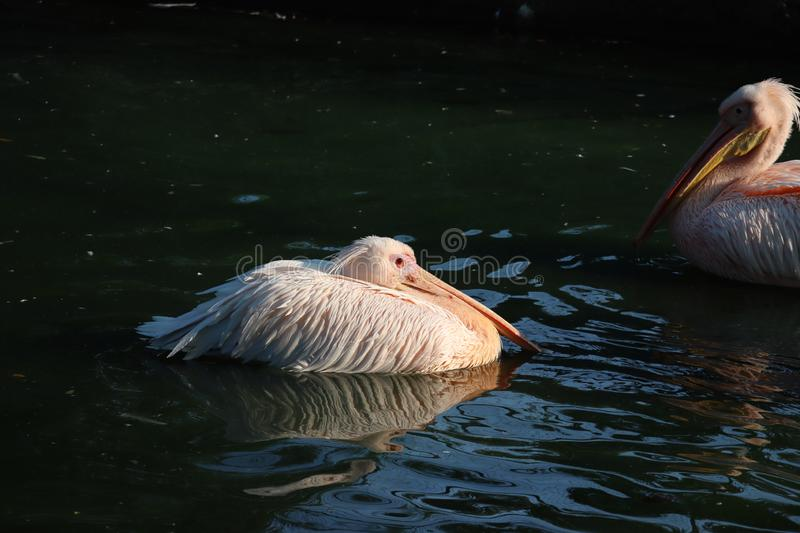Great white or eastern white pelican, rosy pelican or white pelican is a bird in the pelican family.It breeds from southeastern. Europe through Asia and in stock photo